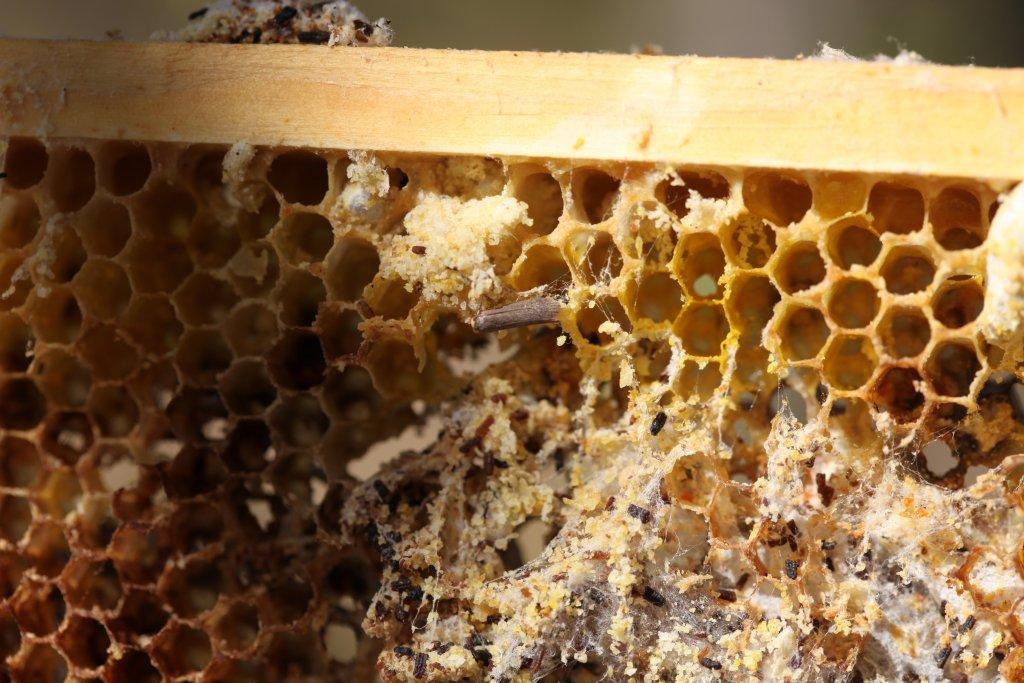 la fausse teigne des abeilles